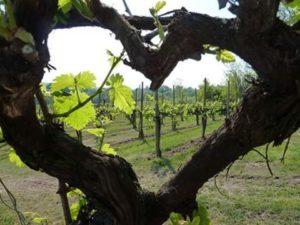 Covigneron Parrainage de pieds de vignes