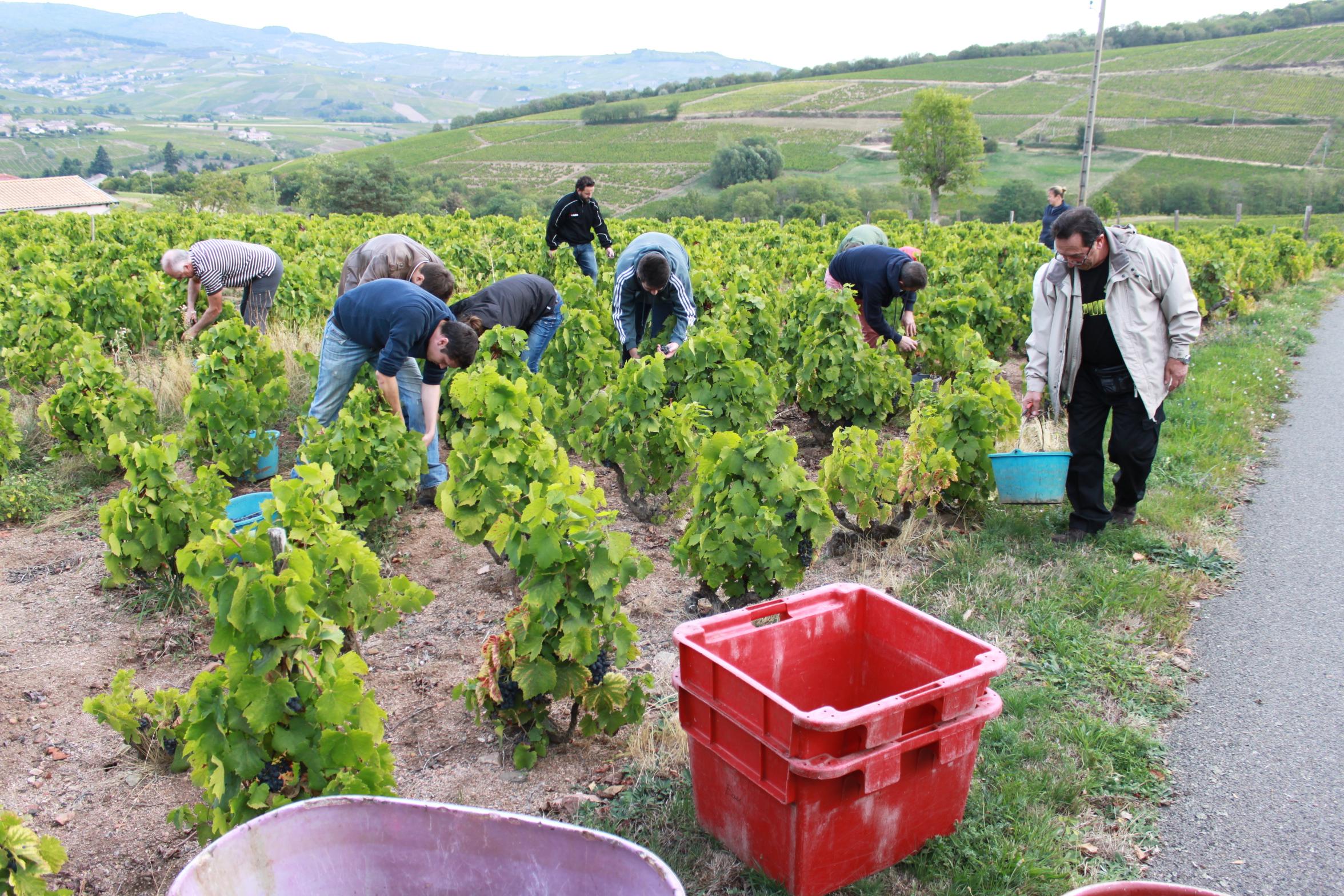 Parrainage de pieds de vignes aux Etoiles en Beaujolais