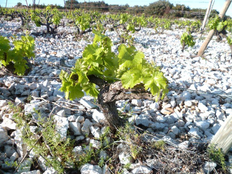 Covigneron Parrainage de pieds de vignes Château Coupe Roses