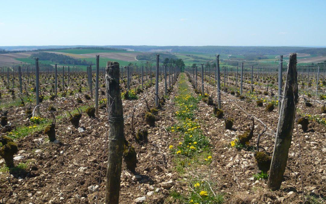 Découverte de la taille des Vignes en Champagne