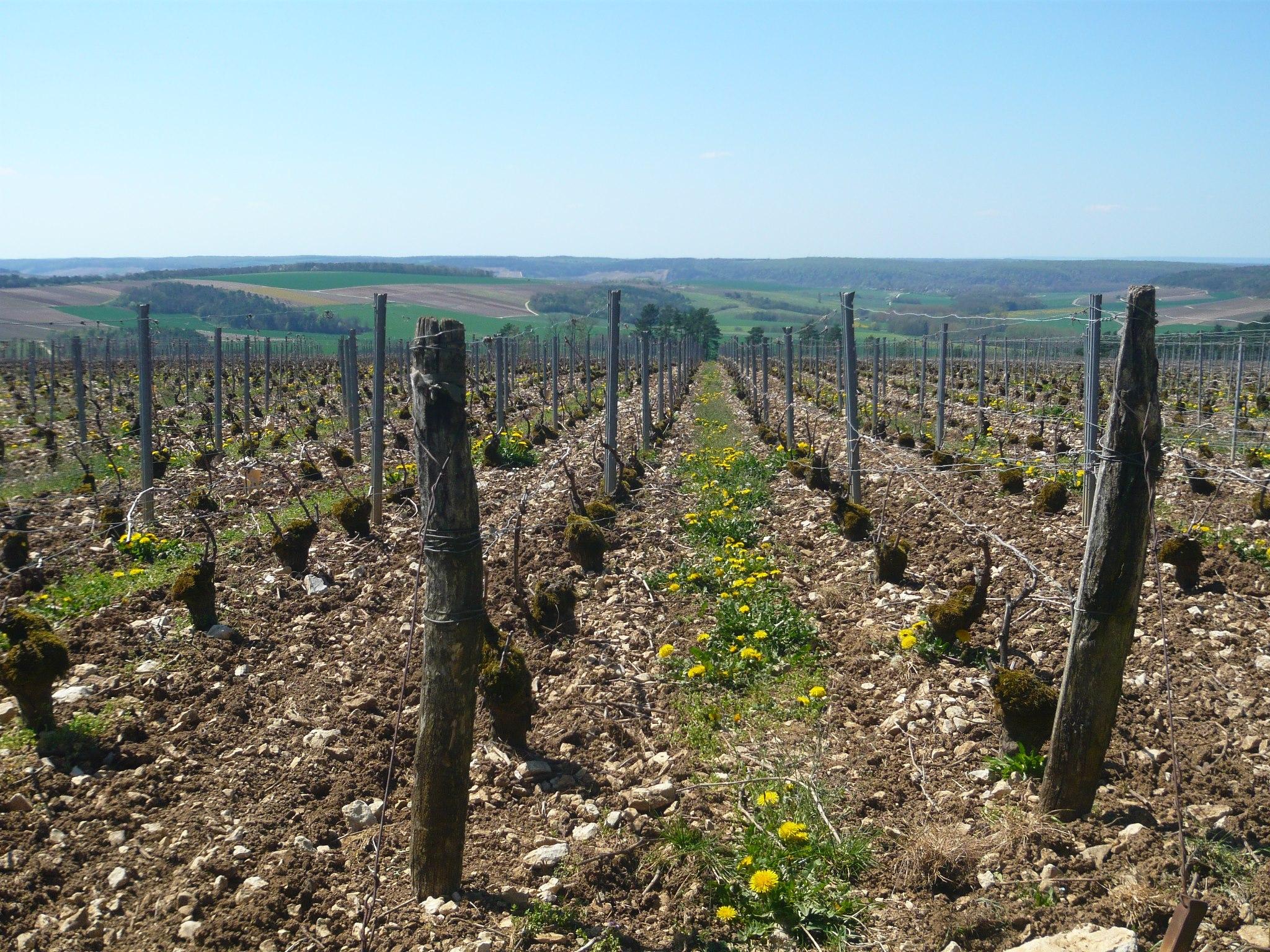 Parrainage de pieds de vignes au Champagne Rémy Massin