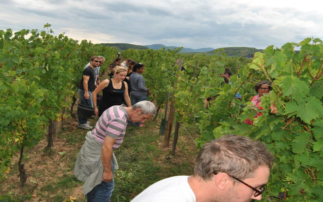 Samedi 12 septembre vendanges en Alsace