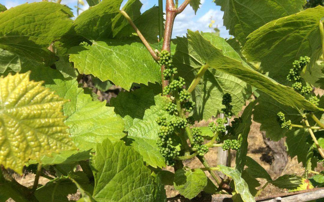 Découverte des Vignes en Fleuraison