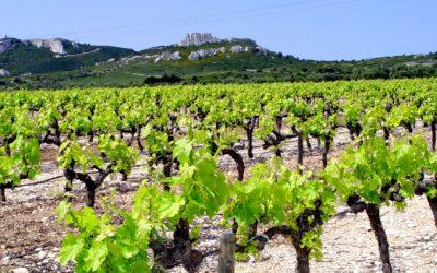 Planter un pied de vigne