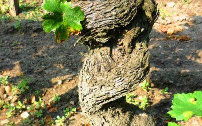 Pied de vigne : sélection clonale ou massale
