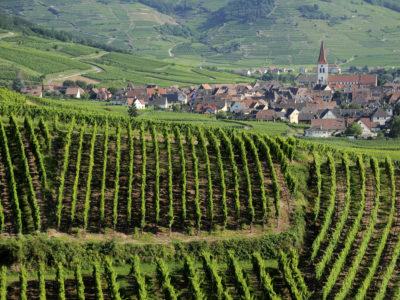 Découverte de la taille des vignes en Alsace.