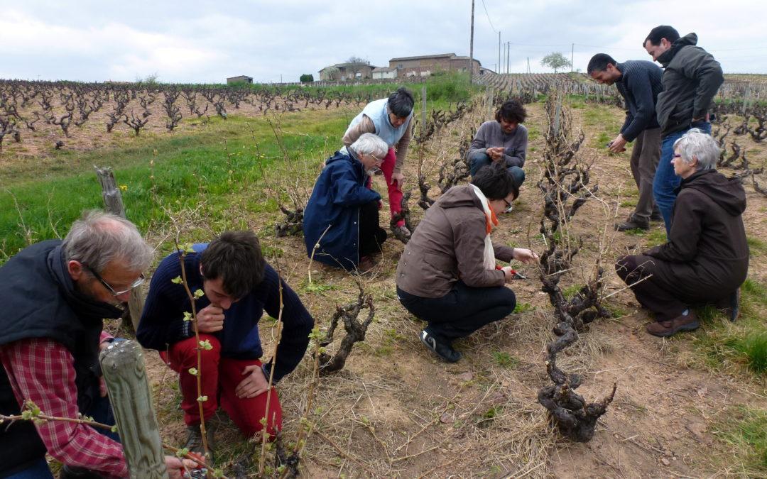 Découvertes des Travaux en vignes en Beaujolais