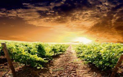 Le réchauffement climatique et les vignes