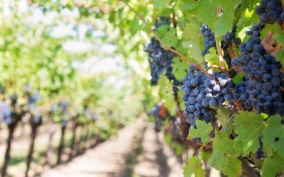 Biodynamique, raisonné, biologique : la diversité des vignobles