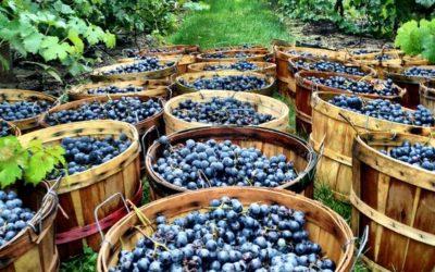 Viticulteur ou vigneron, quelle est la différence ?
