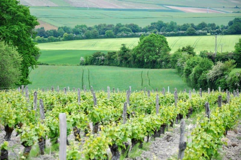 maladies de la vigne