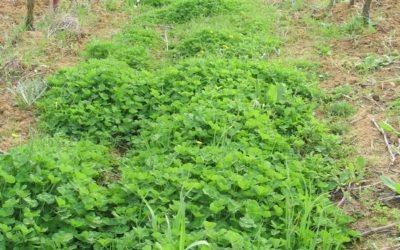 Engrais cupriques pour les vignes à prendre ou à laisser ?