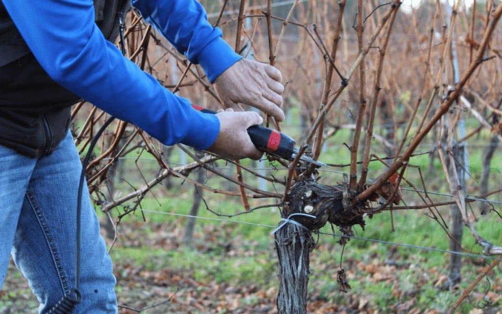 La taille de la vigne, une étape cruciale et fastidieuse - Covigneron