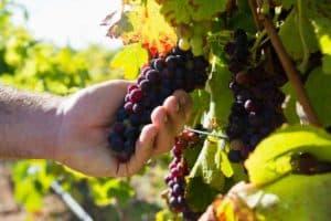 Parrainage de pieds de vignes