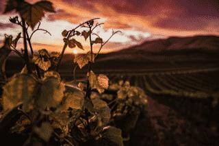 Le vignoble Suisse: la richesse de ses cépages anciens