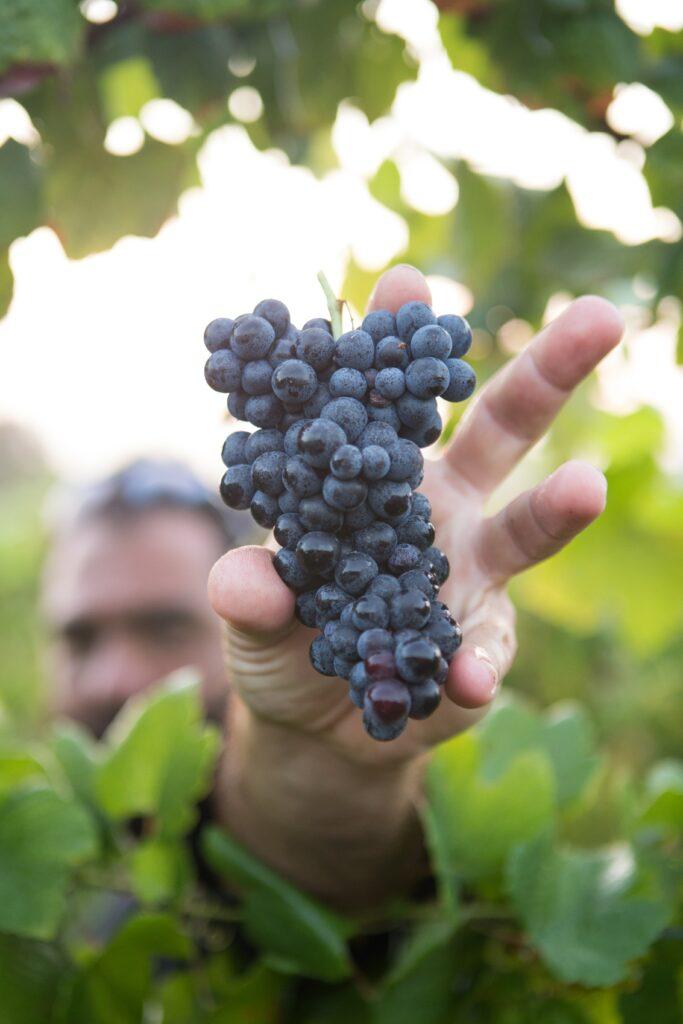 grappe raisin, vendanges juillet à octobre